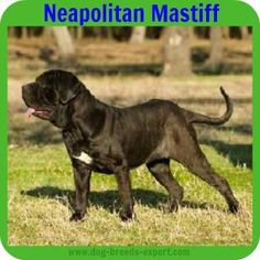 """The breed is commonly referred to as the """"Mastiff"""". Also known as the English Mastiff this giant dog breed gets known for its splendid, good natu Massive Dog Breeds, Best Guard Dog Breeds, Massive Dogs, Calm Dog Breeds, Best Guard Dogs, Giant Dog Breeds, Dog Breeds List, Giant Dogs, Large Dog Breeds"""