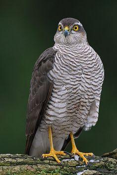 Eurasian sparrowhawk (Sperber)