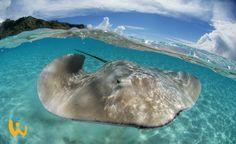 Fake?? Nein dieses faszinierende Bild ist in Französisch Polynesien entstanden. #Stachelrochen #Stingray #FranzösischPolynesien #Welle #blauerhimmel #unterWasser #unberührt #Insel #hammerbild #kristallklar #wirodive #schnorcheln #tauchen #tauchreisen #erlebnisreisen