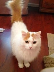 620b2b5a22 86 Best Turkish Angora Turkish Van Cat images