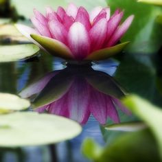 Beautiful water lily! ~  by ajpscs
