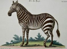 Vintage zebra natural history art