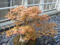 Golden Maple Bonsai tree..?