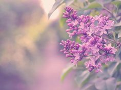 Lilac Flowers Wallpapers