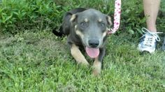 Ada Jane is an adoptable Doberman Pinscher Dog in Lenoir, NC. Ada Jane is a sweet little 4 month old bundle of love. She was marked a doberman when she was at the shelter but our vet thinks perhaps mo...