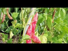 Growing Borlotti Beans