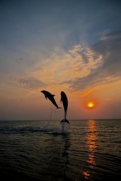 Ocean sunset with jumping dolphins! Beautiful Creatures, Animals Beautiful, Cool Pictures, Beautiful Pictures, Ocean Sunset, Ocean Life, Beautiful Sunset, Marine Life, Sea Creatures