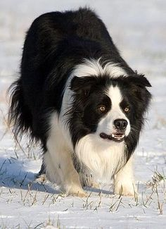 Border Collie at work by jonsson.anna, via Flickr