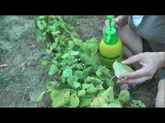 Αντιμετώπιση του τετράνυχου με βιολογικό τρόπο - YouTube Soap, Nature, Flowers, Youtube, Gardening, Gardens, Naturaleza, Lawn And Garden, Nature Illustration