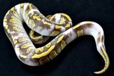 Another incredible paradox Ball Python! Pretty Snakes, Beautiful Snakes, Cute Reptiles, Reptiles And Amphibians, Snake Breeds, Reticulated Python, Burmese Python, All About Snakes, Reptile Room