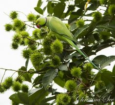 Rose-ringed Parakeet by Christina See, via Flickr