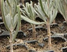 lavender propagation by cuttings Container Herb Garden, Container Gardening Vegetables, Planting Vegetables, Vegetable Garden, Big Garden, Easy Garden, Garden Spaces, Back Gardens, Permaculture