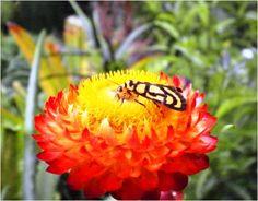 An everlasting flower, BSU orchidarium, La Trinidad, Benguet