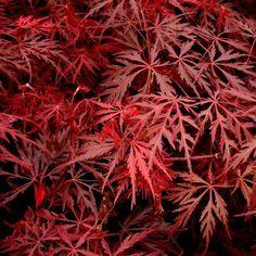 Acer palmatum var. dissectum Garnet | Japanese maple