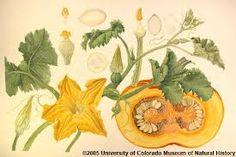 Afbeeldingsresultaat voor cucurbita