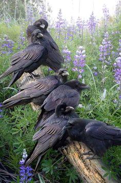 Spirit of Raven The Crow, Beautiful Birds, Animals Beautiful, Beautiful Pictures, Animals And Pets, Cute Animals, Raven Bird, Pet Raven, Crow Art