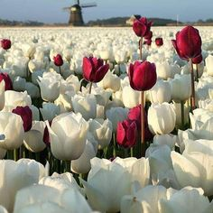 Spectacular pictures of tulips by Dirk Jan Piersma, a gifted self-taught photographer, retoucher, and nature lover from the Netherlands. Love Flowers, Beautiful Flowers, Beautiful Places, Wonderful Places, Wonderful Picture, Tulips Flowers, La Ilaha Illallah, Tulip Fields, White Tulips