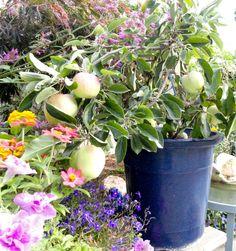 Simple Ultra Dwarf Patio fruit tree planting guide