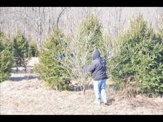 We are Digging Russian Olive Trees For Sale In eastern Pa - YouTube