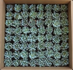 """Graptoveria Moonglows. These are all in their plastic round 2.5"""" containers, $2.50 each, any quantity available, we ship them all over the US. thesucculentsource@gmail.com with any questions TheSucculentSource"""