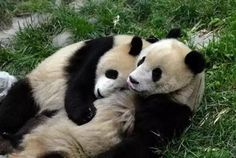 baby panda cute 14 Theres cute, and then theres baby panda cute Photos) Panda Hug, Baby Panda Bears, Panda Love, Cute Panda, Baby Pandas, Panda Babies, Giant Pandas, Like Animals, Animals And Pets