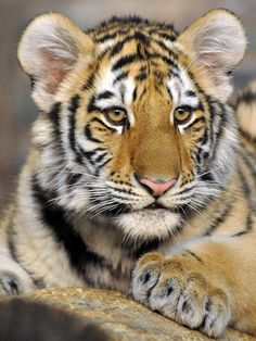bigcatkingdom: Amur Tiger Cub (by Eve'sNature) - Tiger - Animals Big Cats, Cute Cats, Cats And Kittens, Nature Animals, Animals And Pets, Wild Animals, Beautiful Cats, Animals Beautiful, Chat Lion