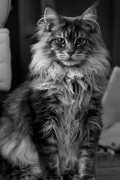 Élevage de Maine Coon - Charente Looks like my Booboo!! Oh I miss her so much!