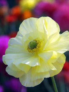 Yellow Poppy | Flower