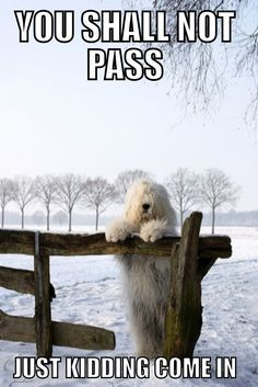 Lord of the rings Funny Google Searches, You Shall Not Pass, Old English Sheepdog, Tough Day, Old Dogs, Just Kidding, Lord Of The Rings, Animal Pictures, Best Friends