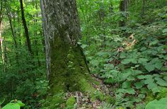 Old growth Sugar Maple in hobblebush. Ray Asselin, New England Forests.