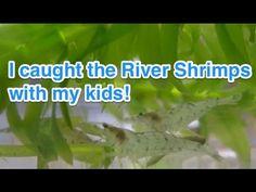 I caught the River Shrimps with my kids! 近所で子どもたちとカワエビを捕まえました!