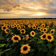 Sunflowers and a beautiful sunset. Don't you love nature? #landscape #photography | University of Phoenix