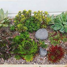 A few garden succulents.  #cactuscollection #stenocactus #succulent #succulentcollection #cacticollection #cactiflowers #cactusflowers #cactus #cacti #mammillaria #astrophytum #copiapoa #haworthia #ferocactus #ariocarpus #lophophora #cactuslove #cactuslover #succulove #instacactus #succulent #succulents #echiveria #lithops #sempervivum #ukcactiandsucculents #cactusmagazine #mycollection