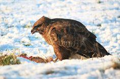 #animal #animal world #avian #beak #bird #bird of prey #buzzard #carnivores #close up #cold #creature #eagle #eat #feather #flight #hunter #outdoors #plumage #predator #prey #raptor #side view #snow #wild #wildlife #winte