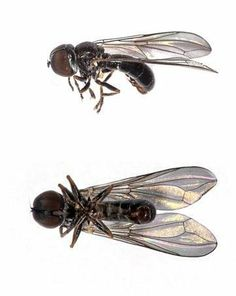 Dorylomorpha clavifemora Clubbed Big-headed Fly (Photo: Christopher Kirby-Lambert ) Big