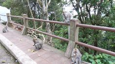 Monkeys are everywhere in Bali - can stop along the roads to feed them and they are at a lot of the Temples as well. Stuff To Do, Things To Do, Monkeys, Temples, Roads, Bali, Canning, Animals, Things To Make