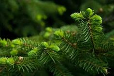 Find benefits of Black Spruce essential oil and blends that could help you deal with winter associated diseases like fatigue or a low immune defense. Conifer Trees, Spruce Tree, Forest Path, Tree Oil, Tree Branches, Fir Tree, Paths, Plant Leaves, Essential Oils