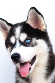 Husky siberiano #siberian husky. Dog
