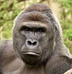 """De moeder van het kind dat in een gorillaverblijf in een dierentuinin het Amerikaanse Cincinnati viel, reageeert op haar felle criticasters. """"We zijn…"""