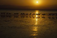 A camel caravan is silhouetted at sunset against the shallow Lake Assal, Djibouti