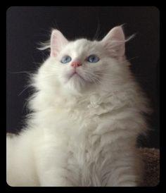 BEW solid blue eyed white Ragdoll
