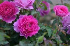 ロサオリエンティスのバラの苗、シェエラザード