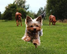 Yorkshire Terrier jumping at play, photo by Lucinda Seamons for the Kennel Club