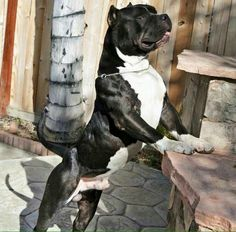 this pit bull Big Dogs, Cute Dogs, Dogs And Puppies, Animals And Pets, Cute Animals, Wild Animals, Baby Animals, Guard Dog Breeds, Dog Pounds