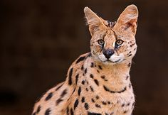 Considering a Serval Cat? Know the Risks of Having One But they are absolutely beautiful!  ♥ Maybe in retirement