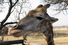 Close Up image of a Giraffe