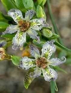 View picture of Ferraria, Starfish Lily (Ferraria ferrariola) at Dave& Garden. All pictures are contributed by our community. Unusual Flowers, Unusual Plants, Rare Flowers, Exotic Plants, Amazing Flowers, Wild Flowers, Beautiful Flowers, Clematis, Horticulture