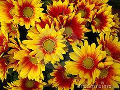 Flores rojas y amarillas del crisantemo.