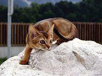 абиссинская кошка фото: 32 тыс изображений найдено в Яндекс.Картинках