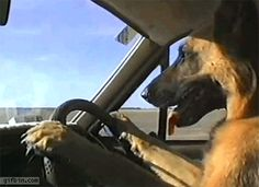 Paws at 10 and 2, eyes straight ahead - this dog could teach driver's ed.